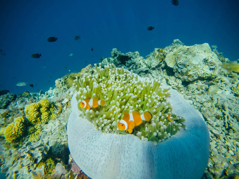 iconik travels el nido clown fish corals
